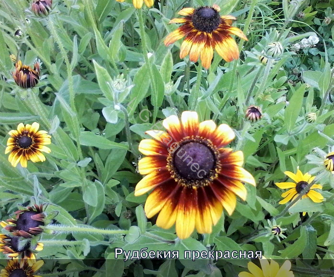 Цветы рудбекия цветы многолетние